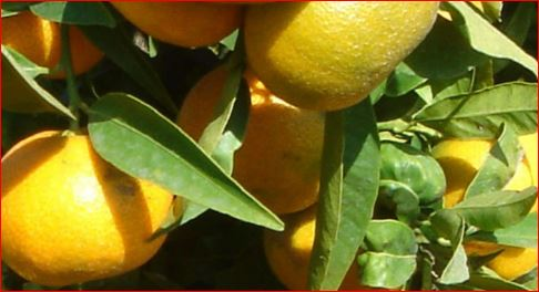 Finca con 7.856 mandarinos. Producción anual de 500.000 Kg.
